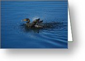 Phalacrocorax Auritus Greeting Cards - Splashing Cormorant Greeting Card by Rich Leighton