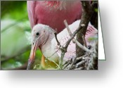 Roseate Spoonbill Greeting Cards - Spoonbill Innocence Greeting Card by Kenneth Albin