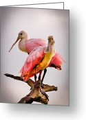 Pelicans Greeting Cards - Spoonbills II Greeting Card by Debra and Dave Vanderlaan