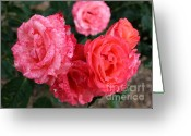 Colorful Roses Greeting Cards - Spotted Coral Roses Greeting Card by Carol Groenen