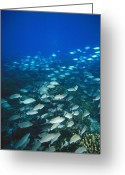 Marine Animal Greeting Cards - Spotted Grunt And Herring Fish Swimming Greeting Card by James Forte