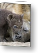 African Animals Greeting Cards - Spotted Hyena One Month Old Cub Greeting Card by Suzi Eszterhas