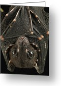 Bat Greeting Cards - Spotted-winged Fruit Bat Balionycteris Greeting Card by Ch