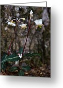 Woodland Plant Greeting Cards - Spotted Wintergreen Plants Greeting Card by Douglas Barnett
