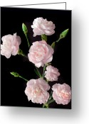 Pink Carnations Greeting Cards - Spray of Pink. Greeting Card by Terence Davis