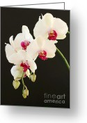 Moth Orchids Greeting Cards - Spray of White Orchids Greeting Card by Sabrina L Ryan