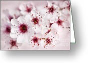 Pink Flower Branch Greeting Cards - Spring cherry blossom Greeting Card by Elena Elisseeva
