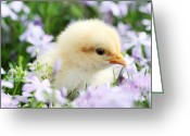 Poultry Photo Greeting Cards - Spring Chick Greeting Card by Stephanie Frey