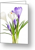Crocus Greeting Cards - Spring crocus flowers Greeting Card by Elena Elisseeva
