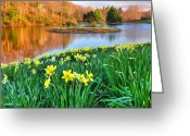 Sunset Light Greeting Cards - Spring Daffodils at Laurel Ridge-Connecticut  Greeting Card by Thomas Schoeller