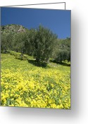 Spring Scenes Greeting Cards - Spring Flowers And Olive Trees Greeting Card by Richard Nowitz