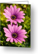 Sunshine Daisy Greeting Cards - Spring Flowers Greeting Card by Carlos Caetano