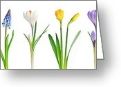 Yellow Crocus Greeting Cards - Spring flowers  Greeting Card by Elena Elisseeva