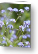 Blue Florals Greeting Cards - Spring Forget-Me-Not Flowers in the Meadow Greeting Card by Jennie Marie Schell