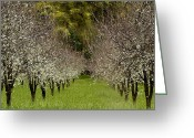 Orchards Greeting Cards - Spring Has Sprung Greeting Card by Bill Gallagher