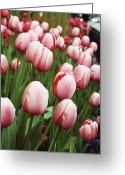Spring Tulip Greeting Cards - Spring has Sprung Greeting Card by Lauri Novak