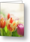 Spring Tulip Greeting Cards - Spring Is In Air Greeting Card by Maria Kallin
