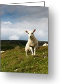 Livestock Greeting Cards - Spring Lamb On Hillside Greeting Card by Kevin Day