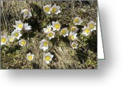 Pasque Flower Greeting Cards - Spring Pasque Flower (pulsatilla Vernalis Greeting Card by Bob Gibbons