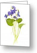 Green Leaves Greeting Cards - Spring violets on white Greeting Card by Elena Elisseeva