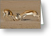 African Wildlife Greeting Cards - Springboks Fighting Greeting Card by Tony Camacho