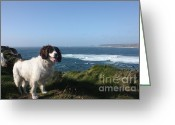 Cape Cornwall Greeting Cards - Springer Spaniel Dog in Sennen Cove Greeting Card by Terri  Waters