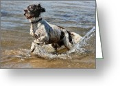 English Springer Spaniel Greeting Cards - Springer Spaniel Greeting Card by Julie L Hoddinott