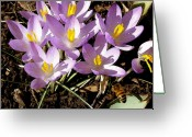 Honey Bee Greeting Cards - Springtime Crocuses  Greeting Card by Michelle Calkins