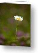 Wildflower Fine Art Greeting Cards - Springtime Daisy Greeting Card by Andrew Soundarajan