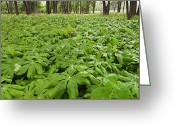 Forest Floor Photo Greeting Cards - Springtime Mayapples Greeting Card by Steve Gadomski