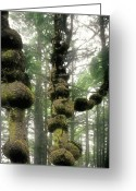 Woodlands Greeting Cards - Spruce Burl Olympic National Park Beach 1 WA Greeting Card by Christine Till