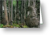 Horticulture Greeting Cards - Spruce Burls Olympic National Park WA Greeting Card by Christine Till
