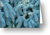 Featured Landscape Art Greeting Cards - Spruce Conifer Nature Art Prints Trees Greeting Card by Baslee Troutman Photography Art Prints