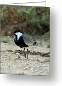 Lapwing Photo Greeting Cards - Spur-winged Plover And Chick Greeting Card by Photostock-israel