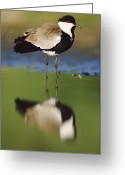 Lapwing Photo Greeting Cards - Spur Winged Plover With Its Reflection Greeting Card by Tim Fitzharris