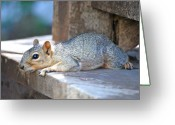 Animals Greeting Cards - Squirrel Friend1 Greeting Card by Kimberly Gonzales
