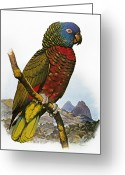 Amazon Parrot Greeting Cards - St Lucia Amazon Parrot Greeting Card by Granger