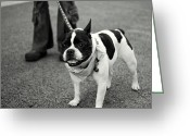 Bull Terrier Greeting Cards - Staffordshire Bull Terrier Greeting Card by Dean Harte