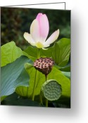 Lotus Seed Pod Greeting Cards - Stages of Growth Greeting Card by Sue Alden