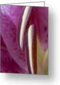 Stargazer Lilies Greeting Cards - Stamens on a Stargazer Lily Greeting Card by Zoe Ferrie