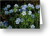 Feathery Greeting Cards - Stand of Linum Greeting Card by Chris Berry