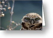 Burrowing Owl Greeting Cards - Standing My Ground Greeting Card by Fraida Gutovich