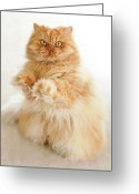 Persian Greeting Cards - Standing Persian Cat Greeting Card by Hulya Ozkok