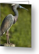 Tricolor Greeting Cards - Standing Tall Greeting Card by Carolyn Marshall