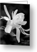 Star Magnolias Greeting Cards - Star Magnolia Flower Black and White Greeting Card by Jennie Marie Schell