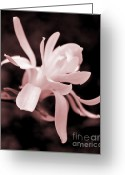 Star Magnolias Greeting Cards - Star Magnolia Flower Pink Tone Greeting Card by Jennie Marie Schell