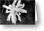 Spring Time Greeting Cards - Star Magnolia Greeting Card by Lisa  Phillips