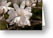 Designers Choice Painting Greeting Cards - Star Magnolia Painting Greeting Card by Don  Wright