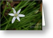 Photos Of Autumn Greeting Cards - Star of Bethlehem Flower Greeting Card by Brent Parks