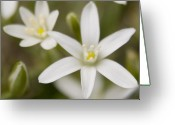 Star Of Bethlehem Greeting Cards - Star of Bethlehem Greeting Card by Margaret Denny